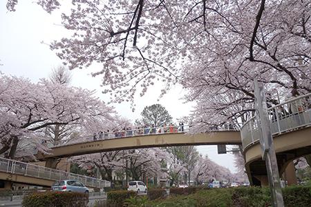 国立お花見2016-1.jpg