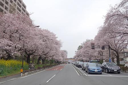 国立お花見2016-7.jpg