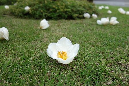 沙羅の花.jpg
