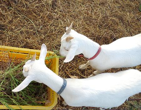 田舎のヤギ.jpg