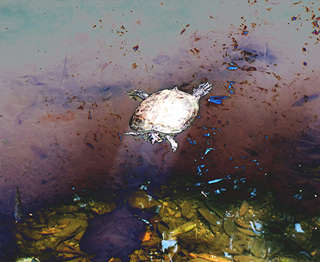 霞川の亀.JPG