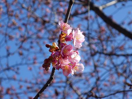 初桜.JPG