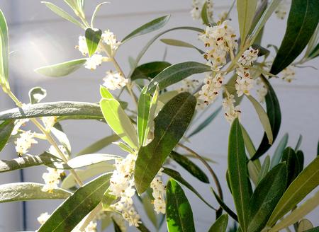オリーブの花.JPG
