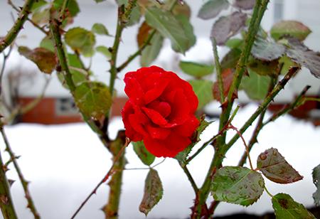 エルグデザインの冬のバラ.jpg