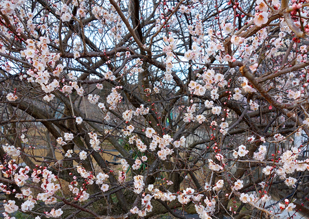 梅の花0219.JPG